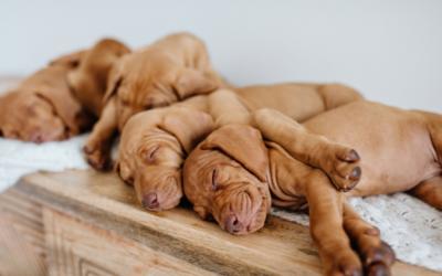 Cuidados com cachorros recém-nascidos